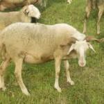 Pecora Cornella o Cornella bianca