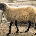Pecora Leccese