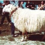 Pecora Murazzano