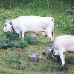 Vacca Grigio Alpina