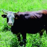 Vacca Pezzata Rossa Valdostana
