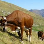 Vacca Pezzata Rossa d'Oropa