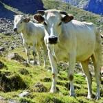 Vacca Piemontese