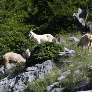 L'erba non può essere l'unico alimento delle lattifere, purtroppo, salvo abbattere tutte le foreste d'Italia
