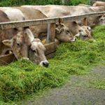L'importanza del foraggio fresco nell'alimentazione delle lattifere