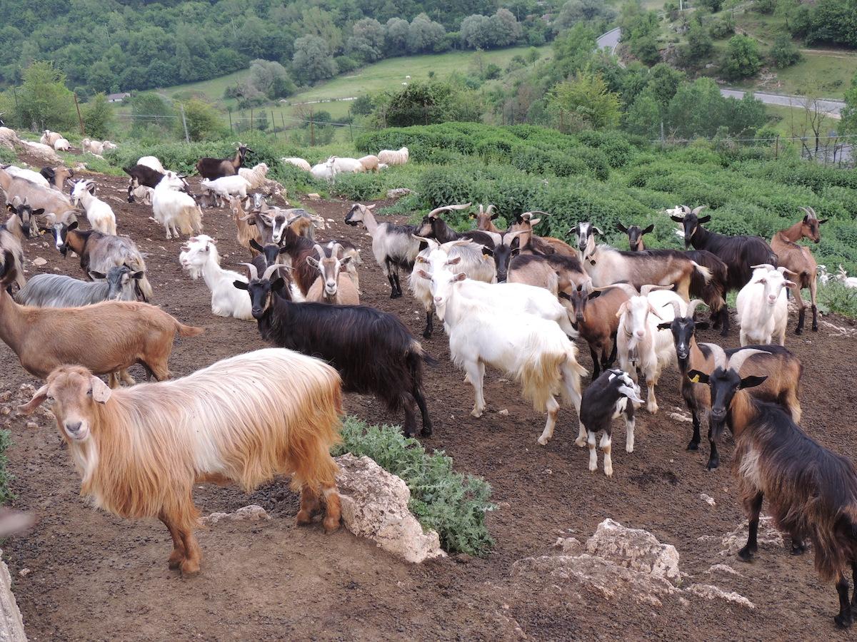 Roberto, il pastore che muore, non fa notizia