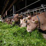 L'importanza dell'alimentazione del bovino da latte